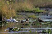 American White Ibis foraging in a swamp