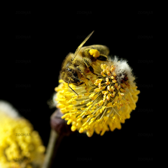 willow catkin and bee