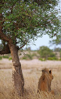 lion under a tree at Kruger National Park