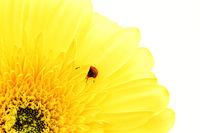 ladybug on yellow flower isolated on white background
