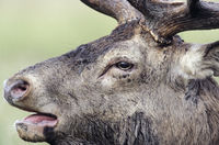 Portrait of a roaring Red Deer stag