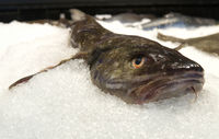Wels auf Eis Catfish on ice