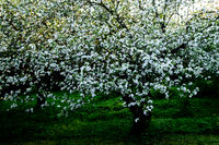 Old appletree with apple blossom of an old apple s