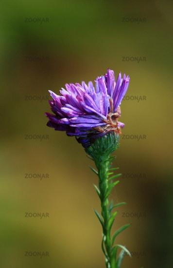 aster, Purple flower head