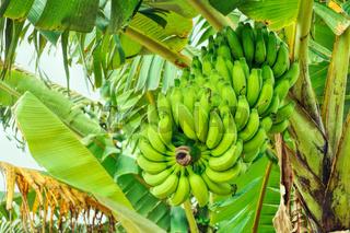 Green bananas growing on tree in Bangladesh