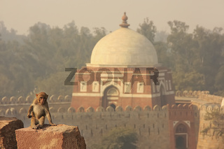 Rhesus Macaque sitting at Tughlaqabad Fort, New Delhi