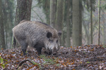 Wildschwein, Keiler im Wald / Sus scrofa