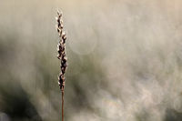 Blade of grass in the morning light