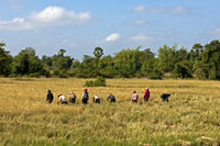female workers harvesting rice,Battambang,Cambodia