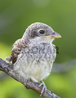 Chick Red-backed Shrike (Lanius collurio).