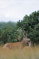 Red Deer stag, hind and calf in dune landscape