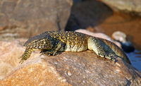 nile monitor in Kruger National Park, South Africa