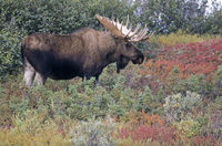 Bull Moose in indian summer in the tundra