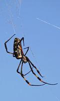orb-weaver spider, south africa, wildlife