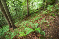 Pine trees and ferns growing in deep highland forest. Carpathian mountains nature background. Ukraine