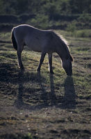 Konik - Hengst aest auf einer Magerrasenflaeche im Gegenlicht - (Waldtarpan-Rueckzuechtung) / Heck Horse stallion grazing on a neglected grassland area in backlight - (Tarpan-breeding back) / Equus ferus caballus - Equus ferus ferus