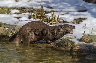 Eurasischer Fischotter im Winter / Lutra lutra