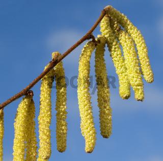 Haselnusskaetzchen, Corylus, avellana,