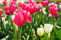 Tulpe rot weiss - tulip red white 01
