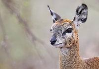 klipspringer, south africa, wildlife