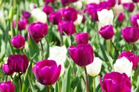 Tulpen lila und weiss - tulips purple and white 01