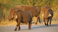 Warthogs, South Africa, wildlife
