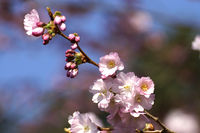 pink flowering cherry blossom