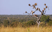 tree with some vultures, Kruger National Park