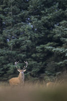 Red Deer stag and hind in dune landscape