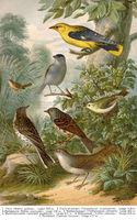 middle-europe songbirds