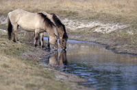 Heck Horse stallion and mare drinking water