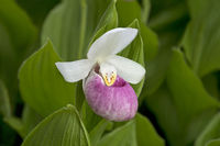 Queens Lady-slipper (Cypropedium reginae)