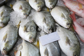 Pomfret fishes cover with ice on sell