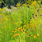 Sonnenhut Wiese - black-eyed Susan meadow 04