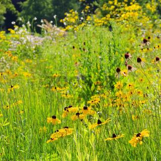 Sonnenhut Wiese - black-eyed Susan meadow 04