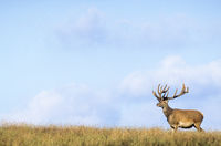 Red Deer stag with velvet-covered antler