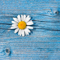 Beautiful wild chamomile flower on blue wooden background. Floral composition in rural vintage style