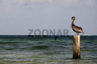 Pelikan in Mexiko