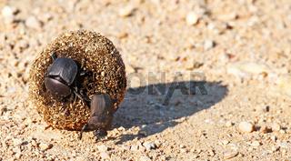 Pillendreher, Südafrika, Dung beetle, south africa, Scarabaeus sacer