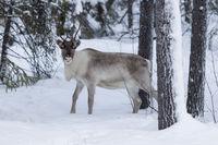Reindeer (Rangifer tarandus) in Finland, Kittilänt