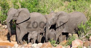 Elefanten im Flussbett, Kruger Nationalpark, Südafrika; african elephants in a river bed, south africa