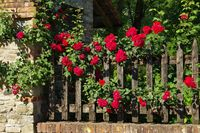 Grazzano Visconti Rosenzaun - Grazzano Visconti fence and roses 01