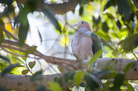 Sulawesi Green Imperial-pigeon of Indonesia