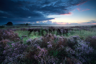 beautiful sunrise over flowering heather