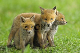 Junge Füchse, Deutschland