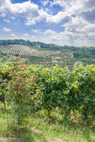 Vineyard and Olive Grove in Piedmont
