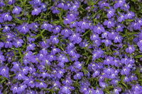 Lobelia erinus Laura Blue, Edging Lobelia
