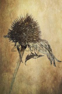 Sonnenhut (Echinacea), verblüht