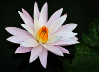 Water lily blossoms on a pond surface