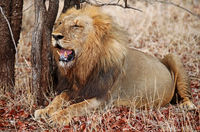 lion at Kruger National Park, South Africa